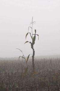SVR-Maispflanzen-010044