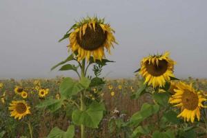 SVR-Sonnenblumen-010047